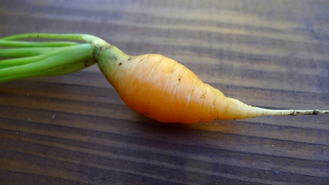 First carrot of the season.
